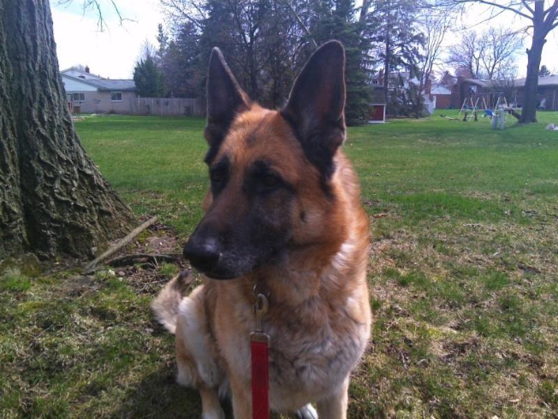 """Tessa"" Cheri in Michigan German shepherd dogs, Shiloh"