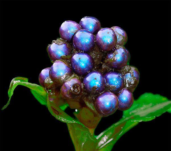 Esta es la planta más brillante del mundo: http://www.muyinteresante.es/esta-es-la-planta-mas-brillante-del-mundo Pineanos en tu muro para que todo el mundo vea lo bonita que es.