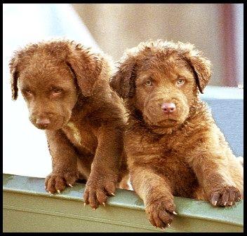 Chessie Puppies Kittens And Puppies Chesapeake Bay Retriever Cute Animals