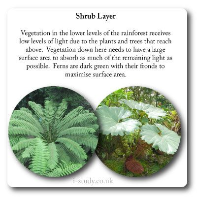 rainforest shub layer plant adaptations | IB Environmental Systems ...