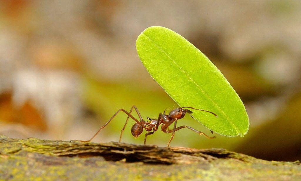 varicoză de furnici
