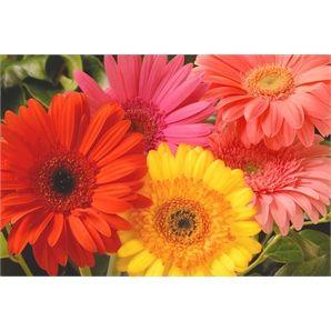 130mm Assorted Gerberas Bunnings Warehouse 6 94 Gerber Daisies Gerbera Daisy Pretty Flowers