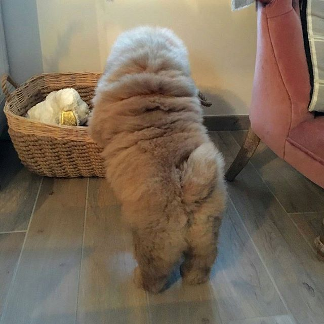 Pin By Haruka On Dogs Chow Chow Puppy Chow Chow Dogs Chow Chow