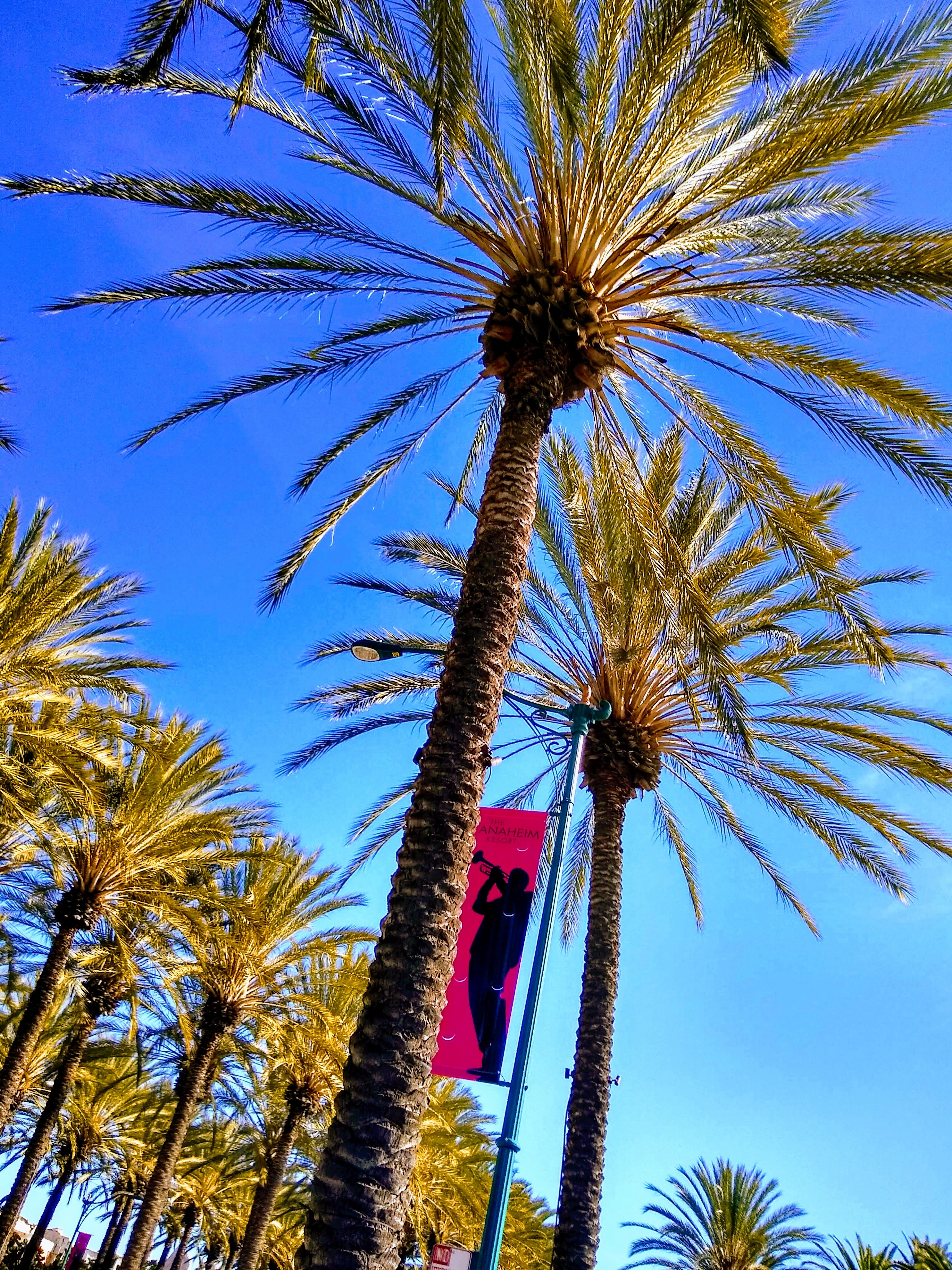 """Anaheim California palm trees """"chilling"""" in 70 degree"""