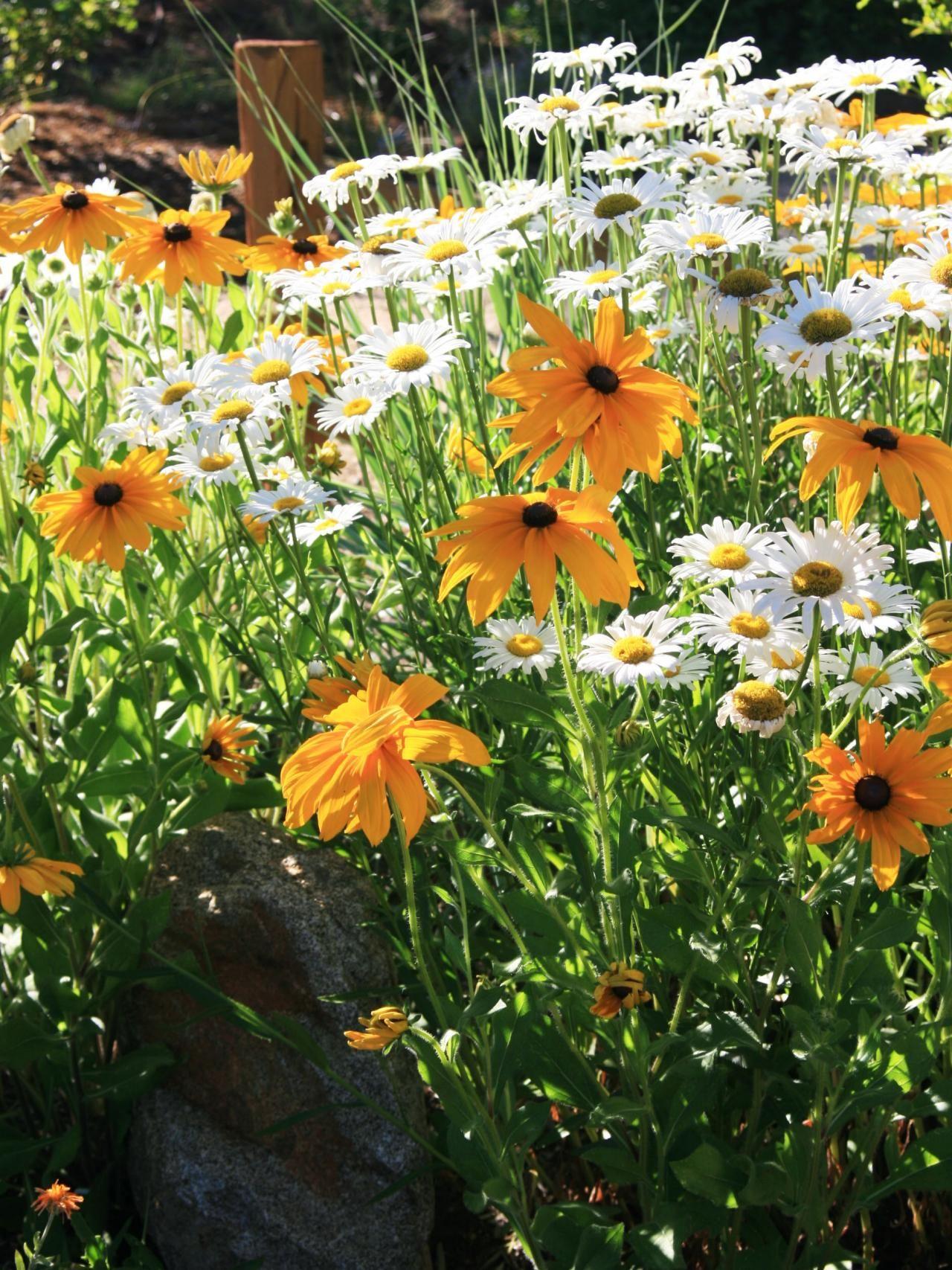 Yellow And White Beauties Shasta Daisy Chrysanthemum Maximum And