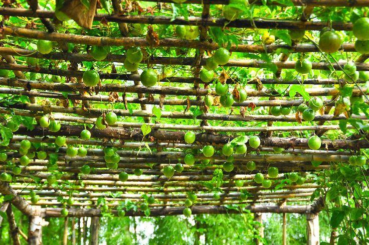 I M A Sucker For Passionfruit Vines Passionfruit Vines On Bamboo Ceiling Patio Architectural Landscape D Trellis Plants Passionfruit Vine Passion Fruit Plant