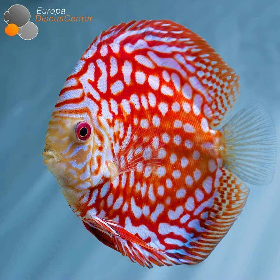 Pin by BARBARVSSA on Guppy Aquarium | Pinterest | Discus, Aquariums ...