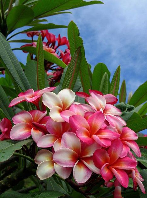 Frangipani Plumeria Flowers Frangipani Flower Pot Design