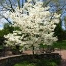 Cloud 9 Dogwood Tree For Sale Online | The Tree Center™