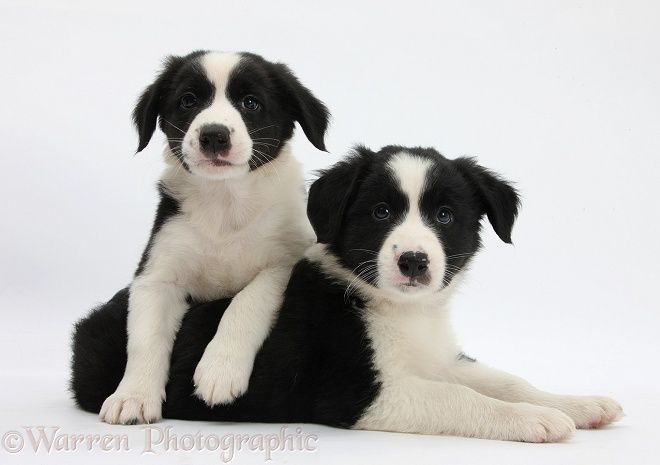 Black And White Border Collie Pups 6 Weeks Old White Border