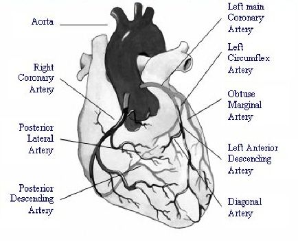 5 Major Coronary Arteries Diagram 1 The Coronary Arteries Of The