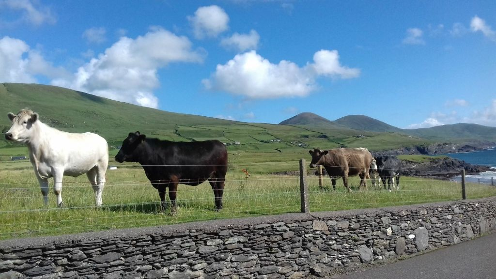 Ballinskelligs Cows! #Lookingout #SkelligsChocolateBlog #SkelligsChocolate #Ballinskelligs