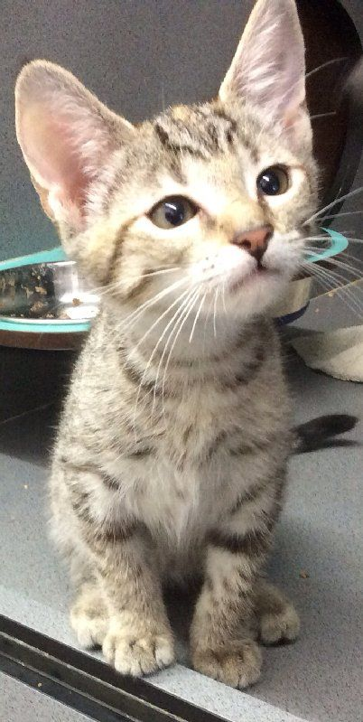 How Adorable Is Little Kitten Strezzie She Is A 2 Month Old Domestic Short Hair Mixed She Is Very Affectionate And Is Happy To Live Aro Adoption Animals Kittens