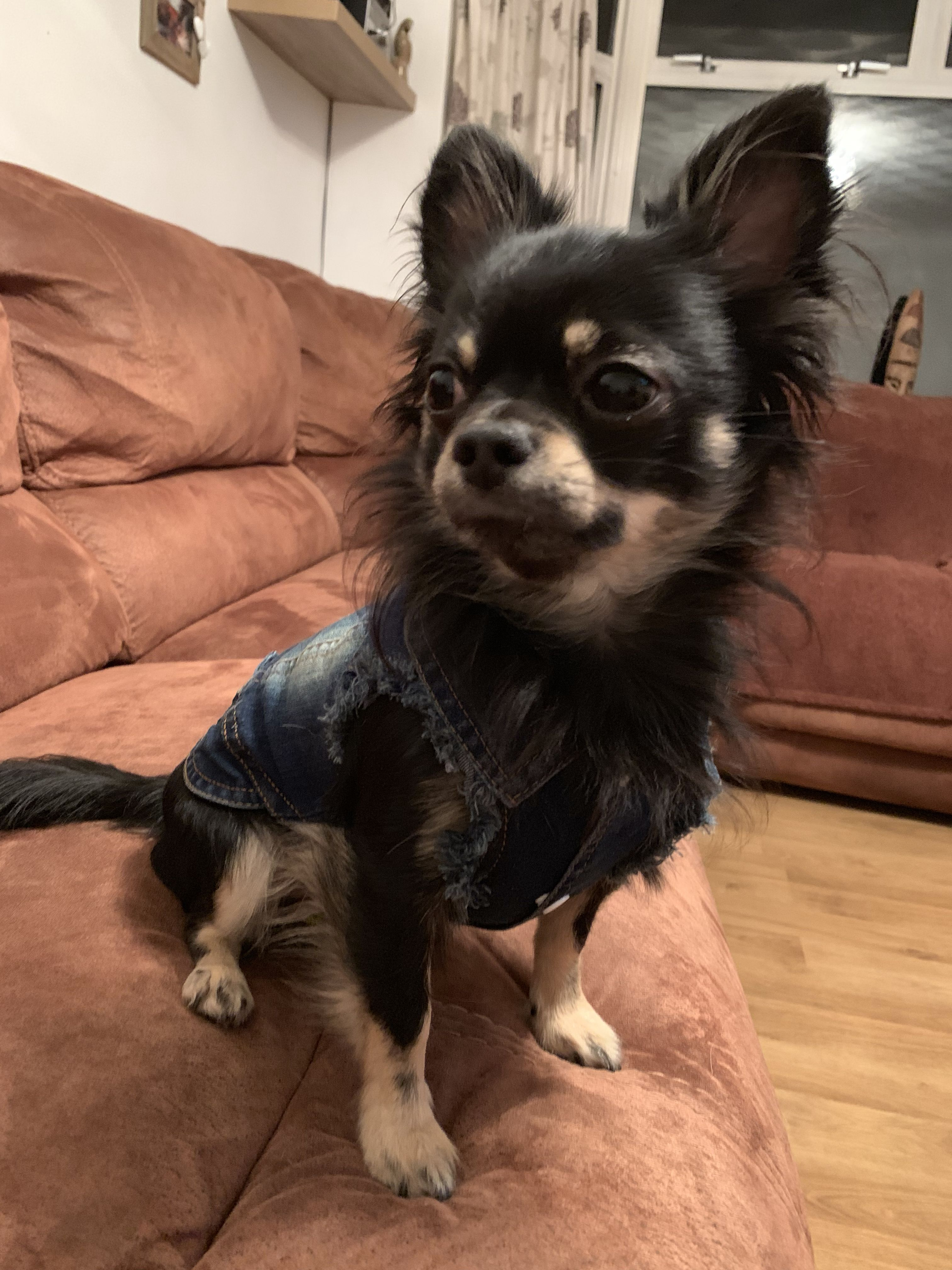 Squirrel Wearing His Denim Jacket Perfect Chihuahua Clothes