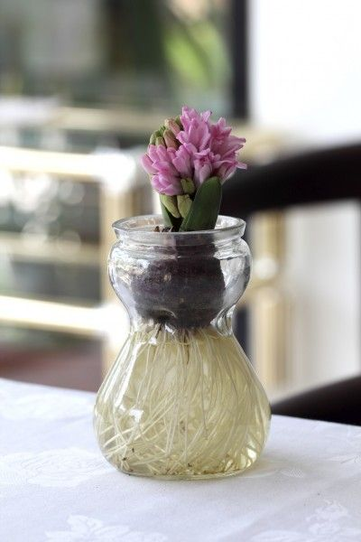 What Is A Bulb Jar Bulb Vase Info For Forcing Flowers New