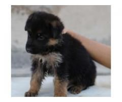 German Shepherd Puppies Male And Female Available For Sale