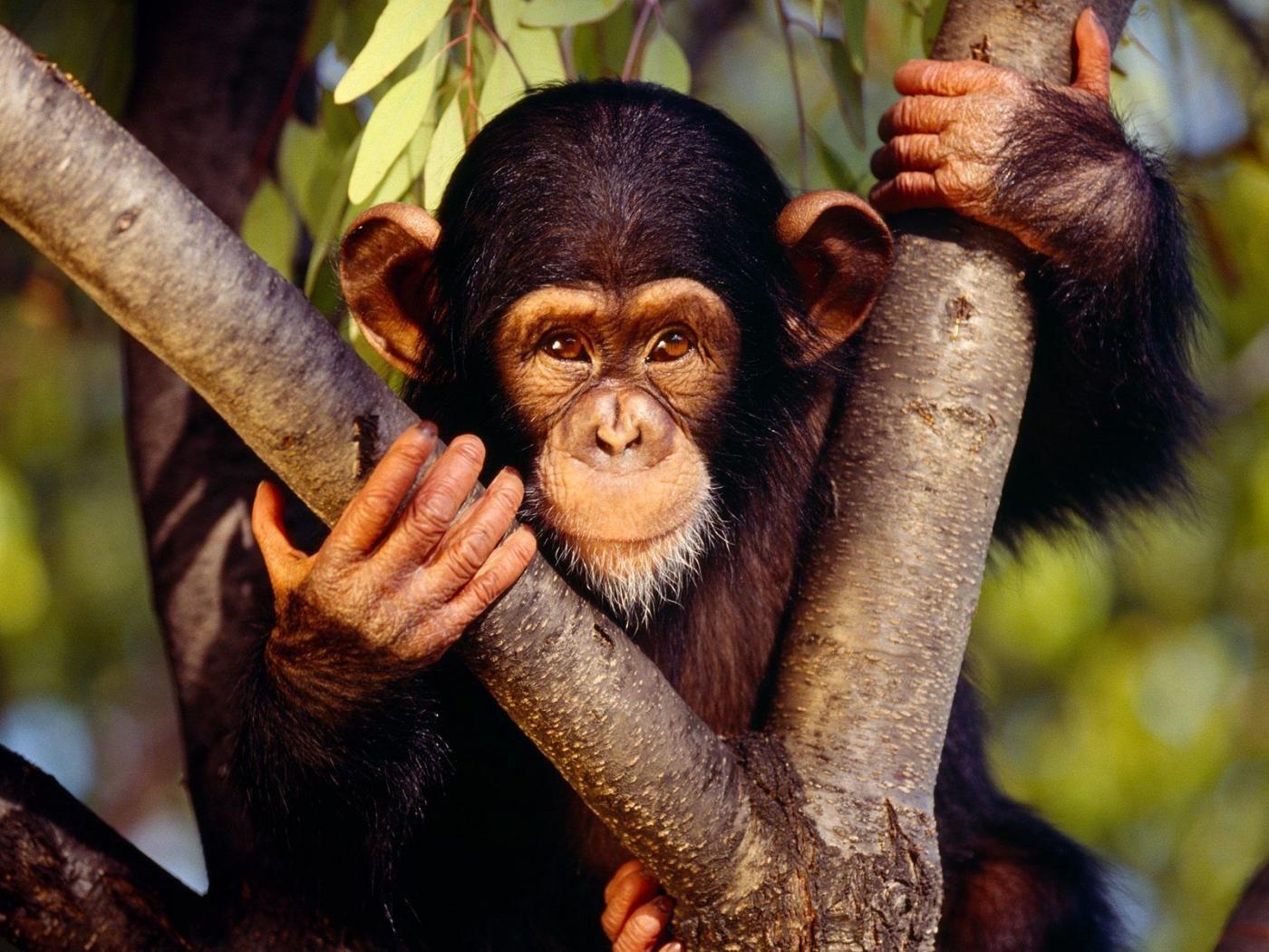 بالفيديو قرود ضالة تقفز على صهريج ماء بـ تحلية وادي بن هشبل Monkey Types Of Monkeys Chimpanzee