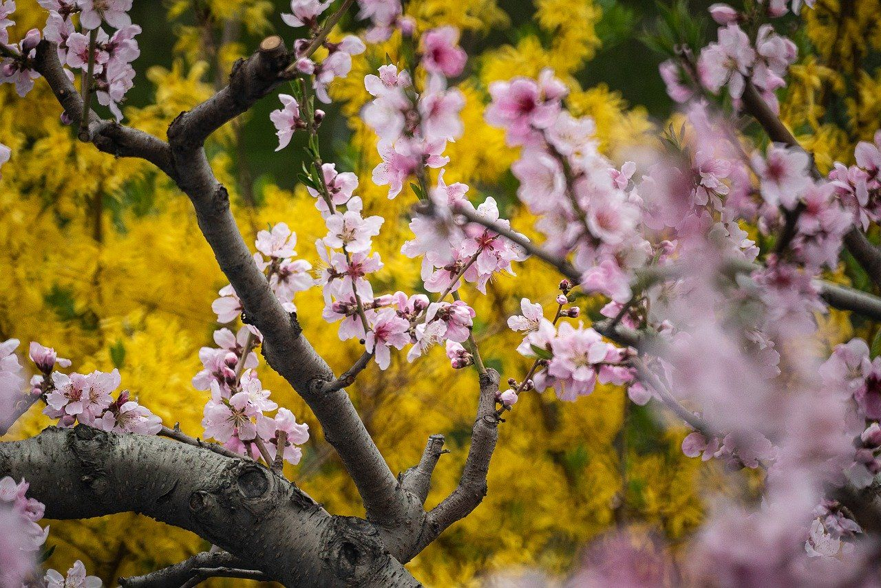 Free Image On Pixabay Cherry Blossoms Blossom Spring Cool Pictures Of Nature Cherry Blossom Nature Pictures