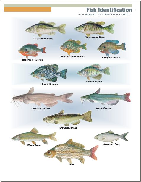 New Jersey Freshwater Fish From Http Www Njfishandwildlife Com 80 Freshwater Fish Fish Funny Fishing Tshirts