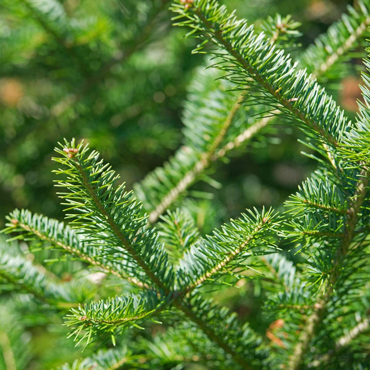 The 10 Best Real Christmas Tree Species Types of