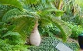 Low Growing Palm Trees - Bing Images,  #Bing #growing #images #palm #Trees #tropicalgardenideaspalms