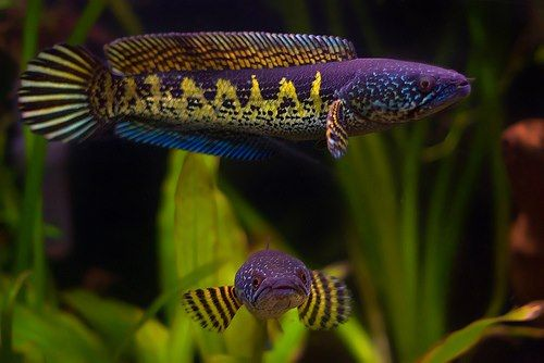 Golden Cobra Snakehead