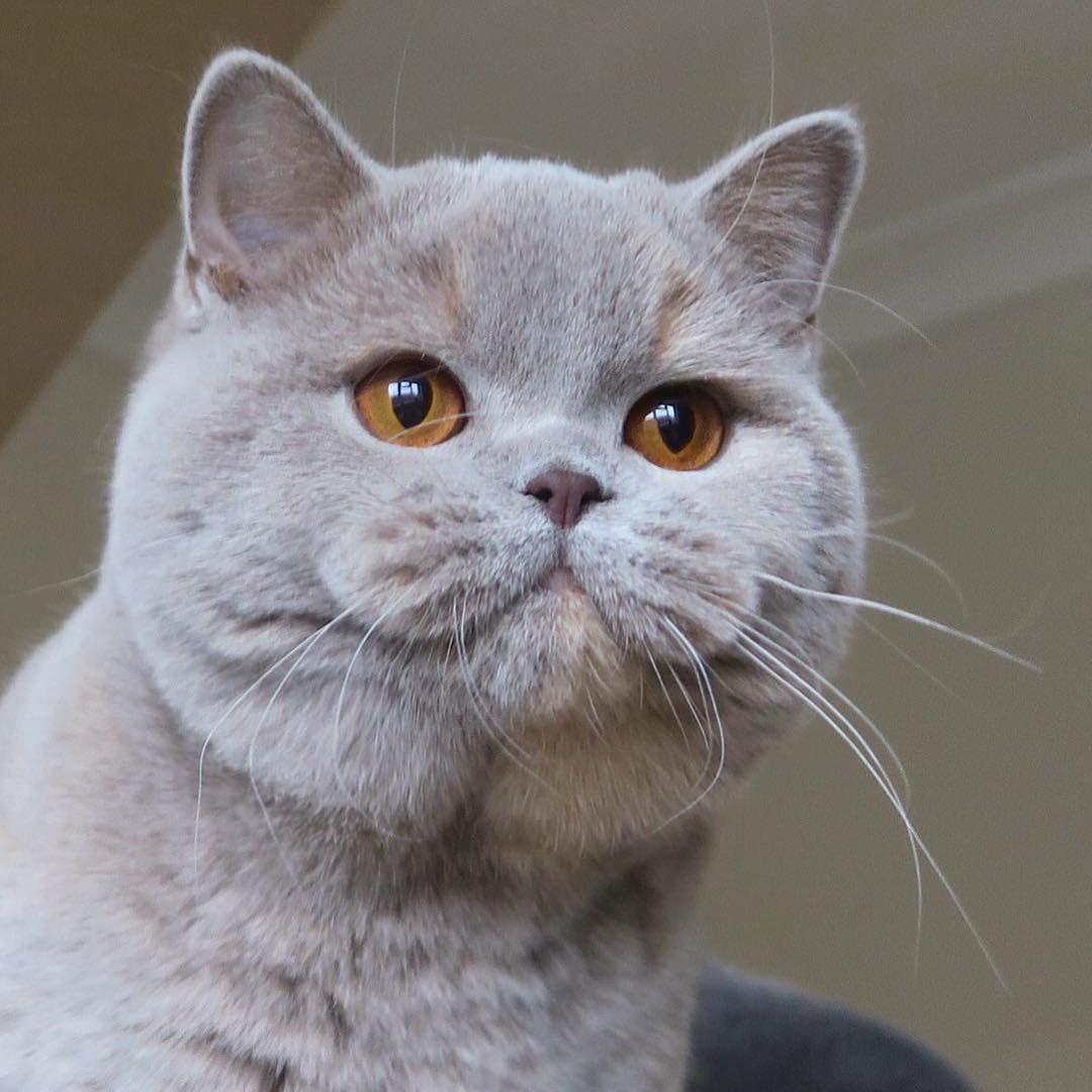 Pin By Shelby Elise On British Cats British Shorthair Kittens Unique Cats Cute Cats