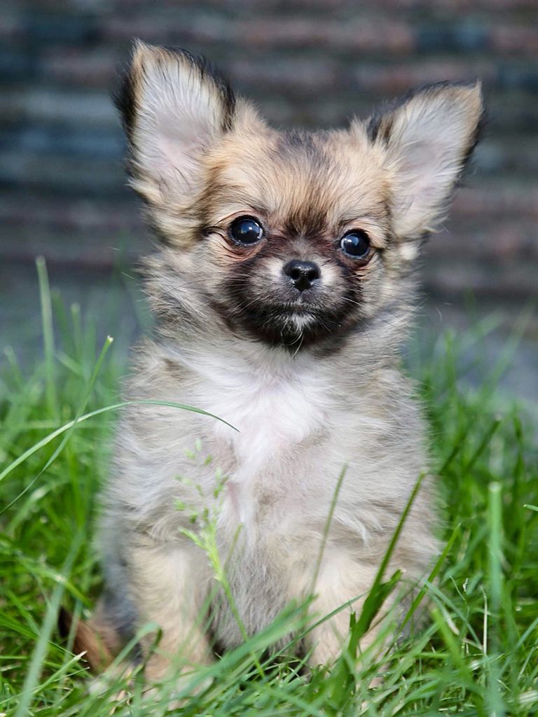 Chihuahua with images chihuahua puppies for sale blue