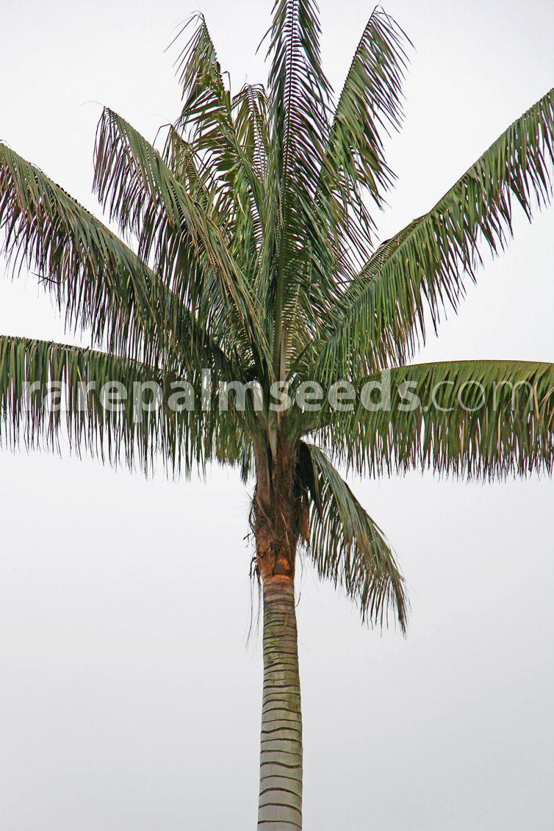 Ceroxylon Quindiuense Palma De Cera Colombiana Compra Semillas En Rarepalmseeds Com Palma De Cera Palmas Cuidado De Plantas