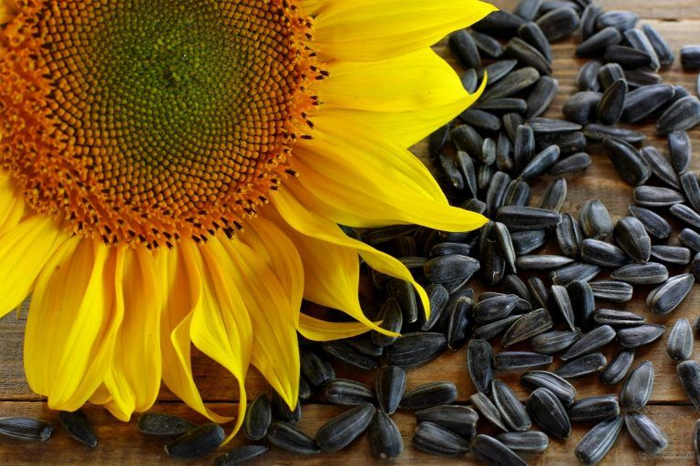 We All Know That Sunflower Seeds Contain More Protein And Manual Guide