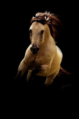 Quarter Horse Buckskin Paarden Paarden Mooie Paarden