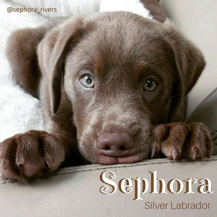 Silver lab puppies for sale in georgia