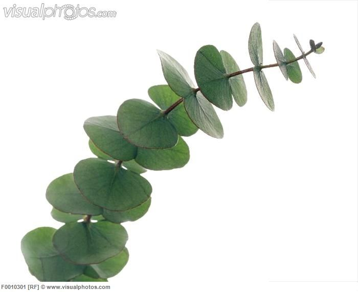 15x Eucalyptus Huis : Eucalyptus leaves eucalyptus sp on a branch these are used in