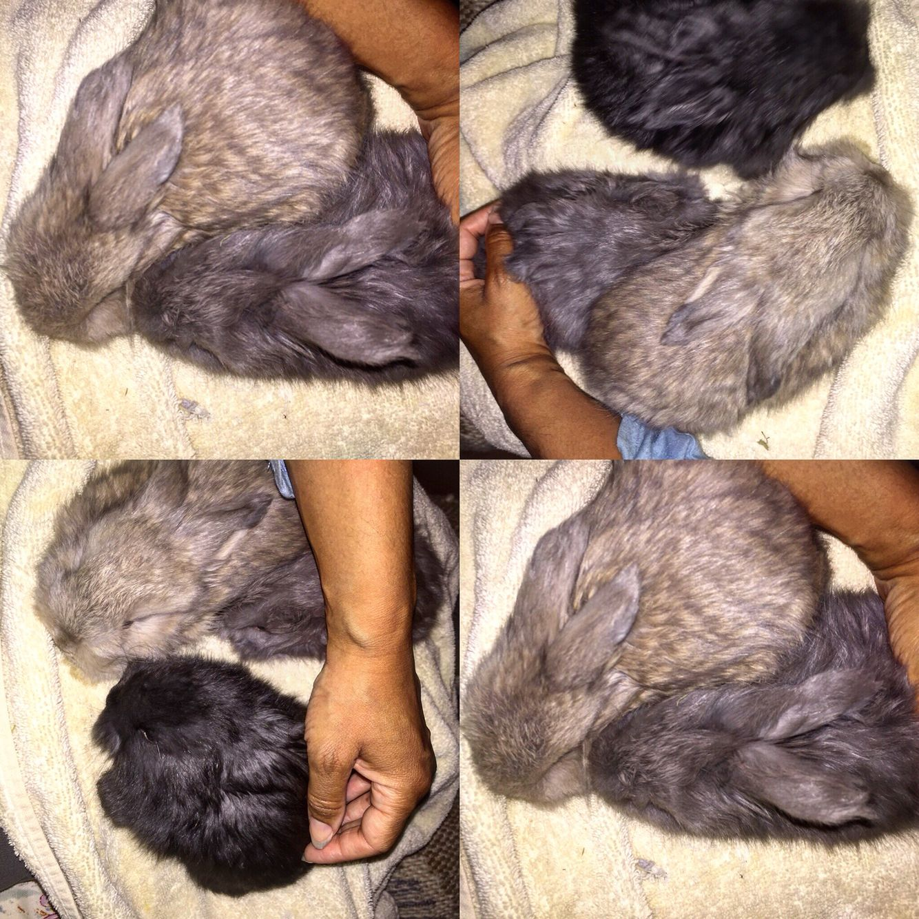 More pictures of my friend's six week old baby angora bunny rabbits.