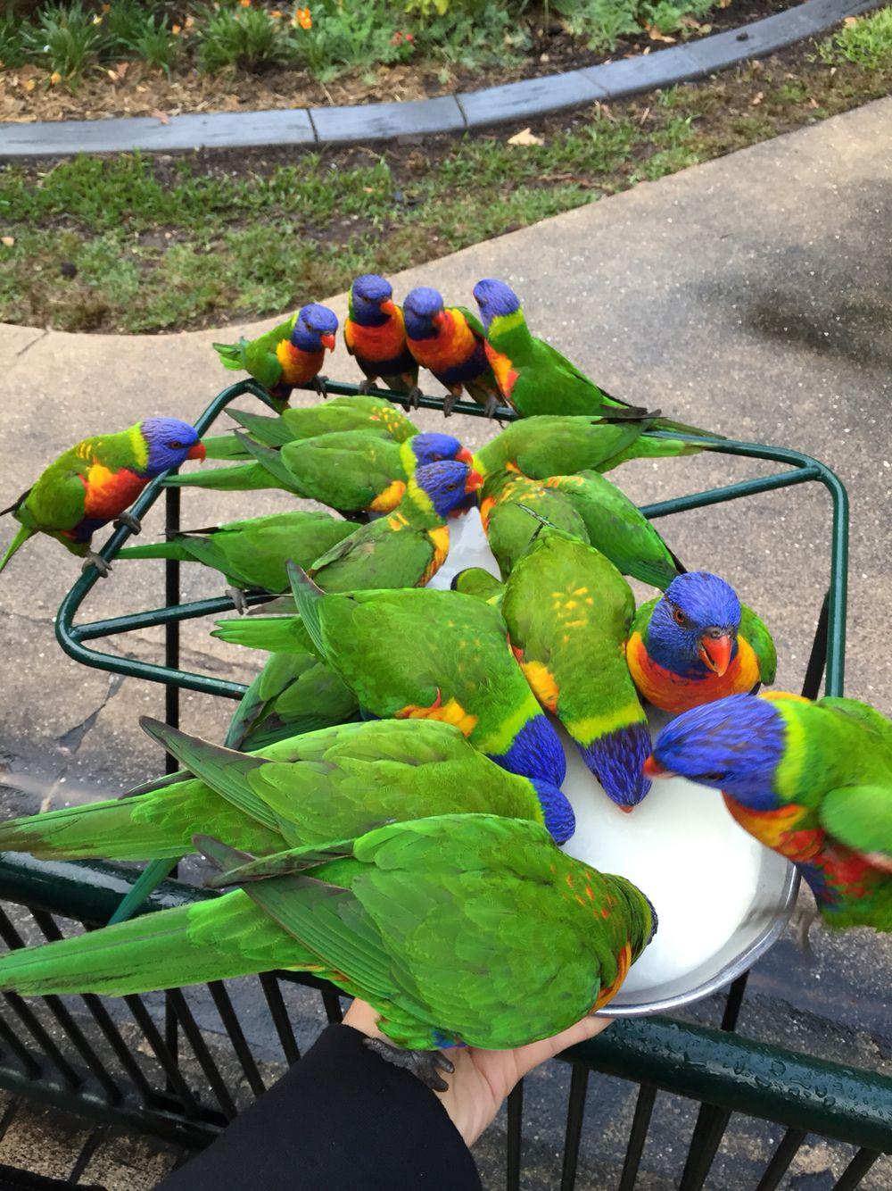 Currumbin Wildlife Sanctuary Rainbow Lorikeet Feeding Beautiful Birds Wildlife Sanctuary Budgies