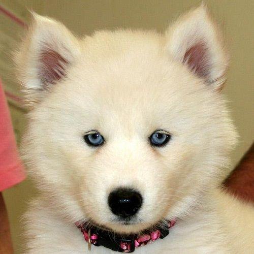 White German Shepherd Puppies With Blue Eyes Like