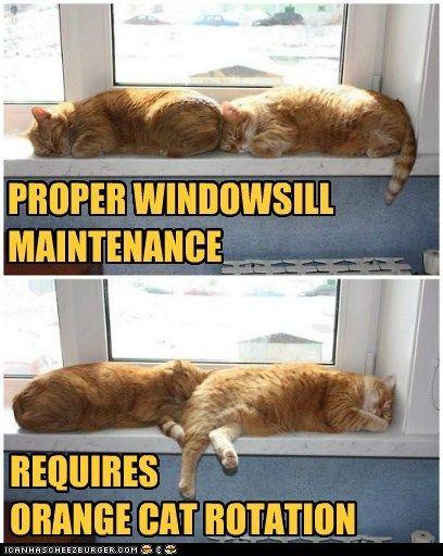 Proper Windowsill Maintenance Requires Orange Cat Rotation Silly