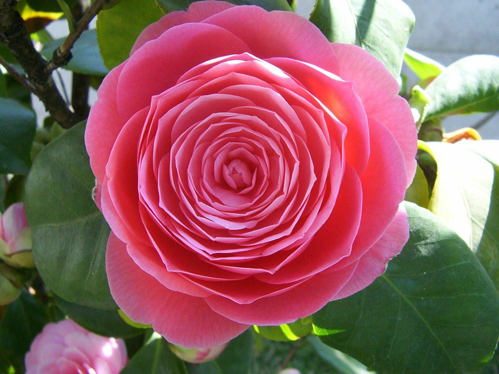 Camellia Japonica Japanese Camellia World Of Flowering Plants Spring Flowers Flowers Camellia