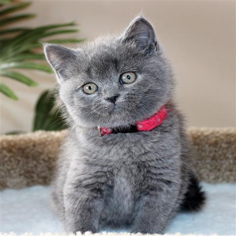 Scottish Fold Scottish Fold Cat Kittens Scottish Fold