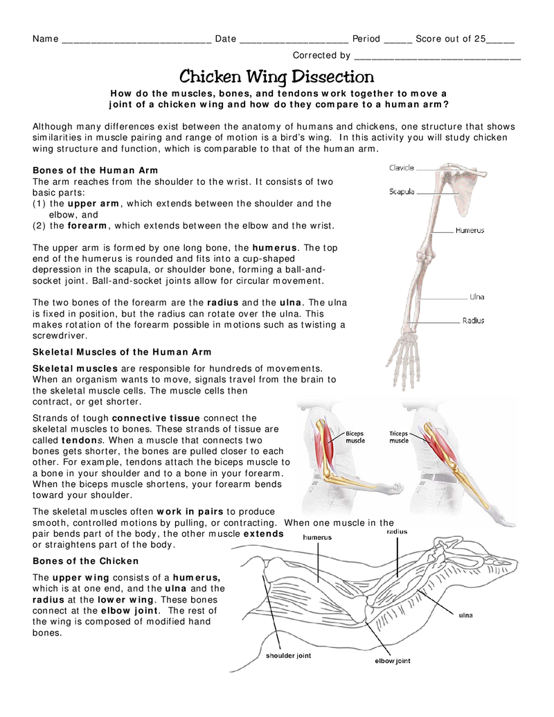 how to dissect a chicken wing anatomy proportions etc wing anatomy wings chicken wings [ 800 x 1035 Pixel ]