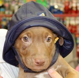Adopt Ben On Petfinder Labrador Retriever Dogs Labrador