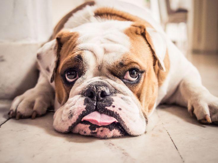 Die Besten 17 Ideen Zu Englische Bulldogge Welpen Kaufen Auf Dog