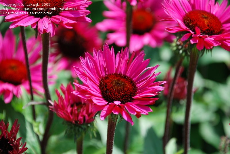 Picture of Coneflower 'Fatal Attraction' (Echinacea )