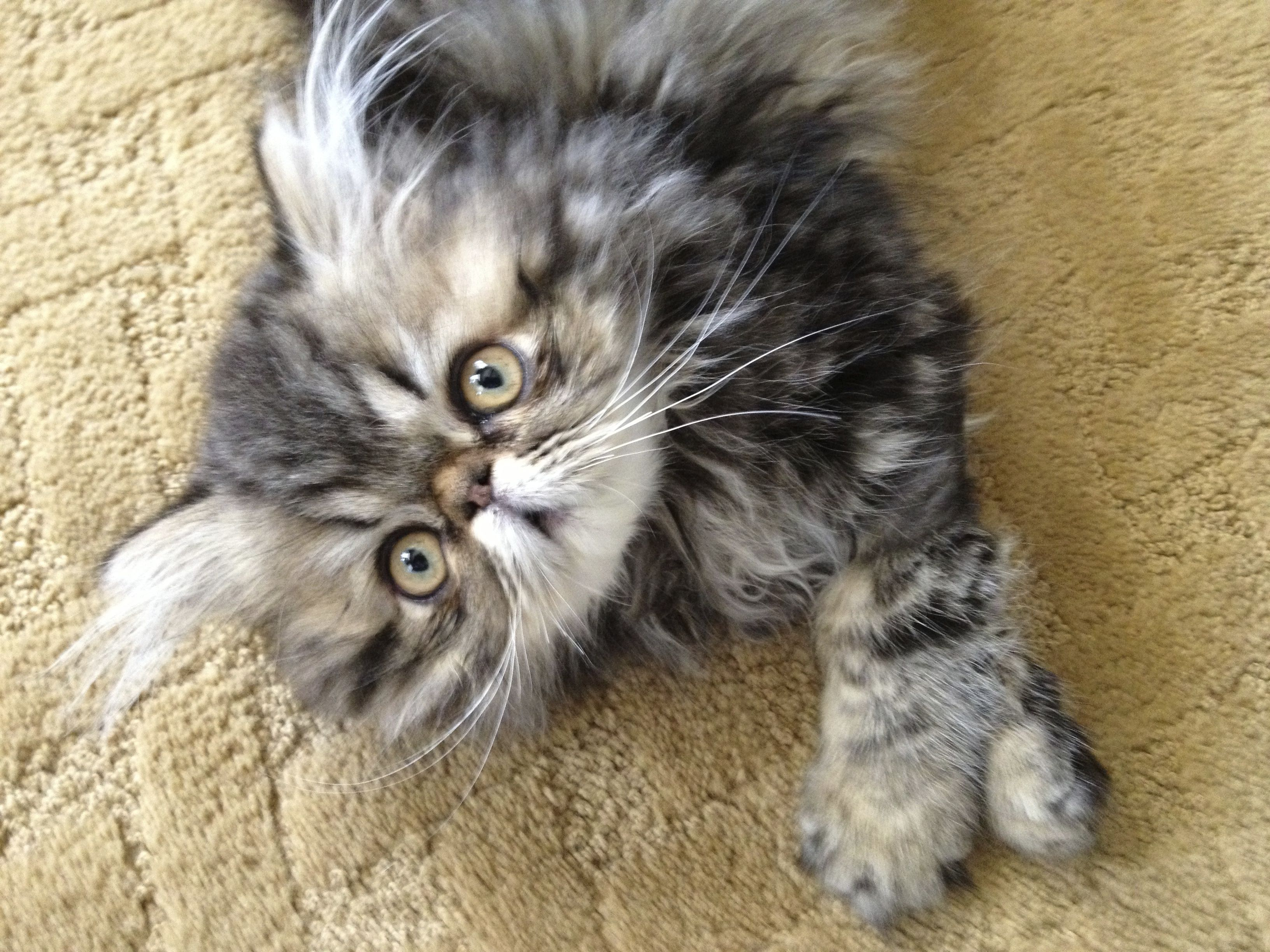 Coco Is A 3 Month Old Brown Patched Tabby Persian I Love Cats Cute Baby Animals Beautiful Cats