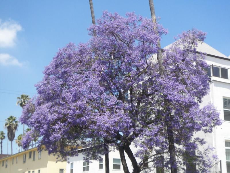 Purple Flowering Trees The Color Is Rampant This Time Of Year In Southern California