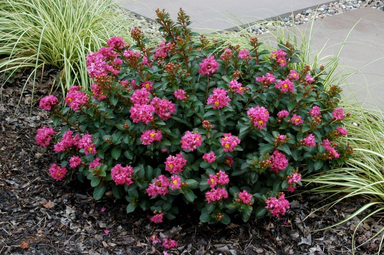 Pokomoke 2 Rose Pink From National Arboretum New Crepe Myrtle Trees Myrtle Tree Crape Myrtle