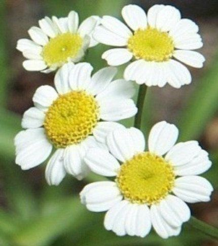 Feverfew Herb Heirloom 100 Seeds Used As A Preventive Etsy Feverfew Herbs Mosaic Flowers