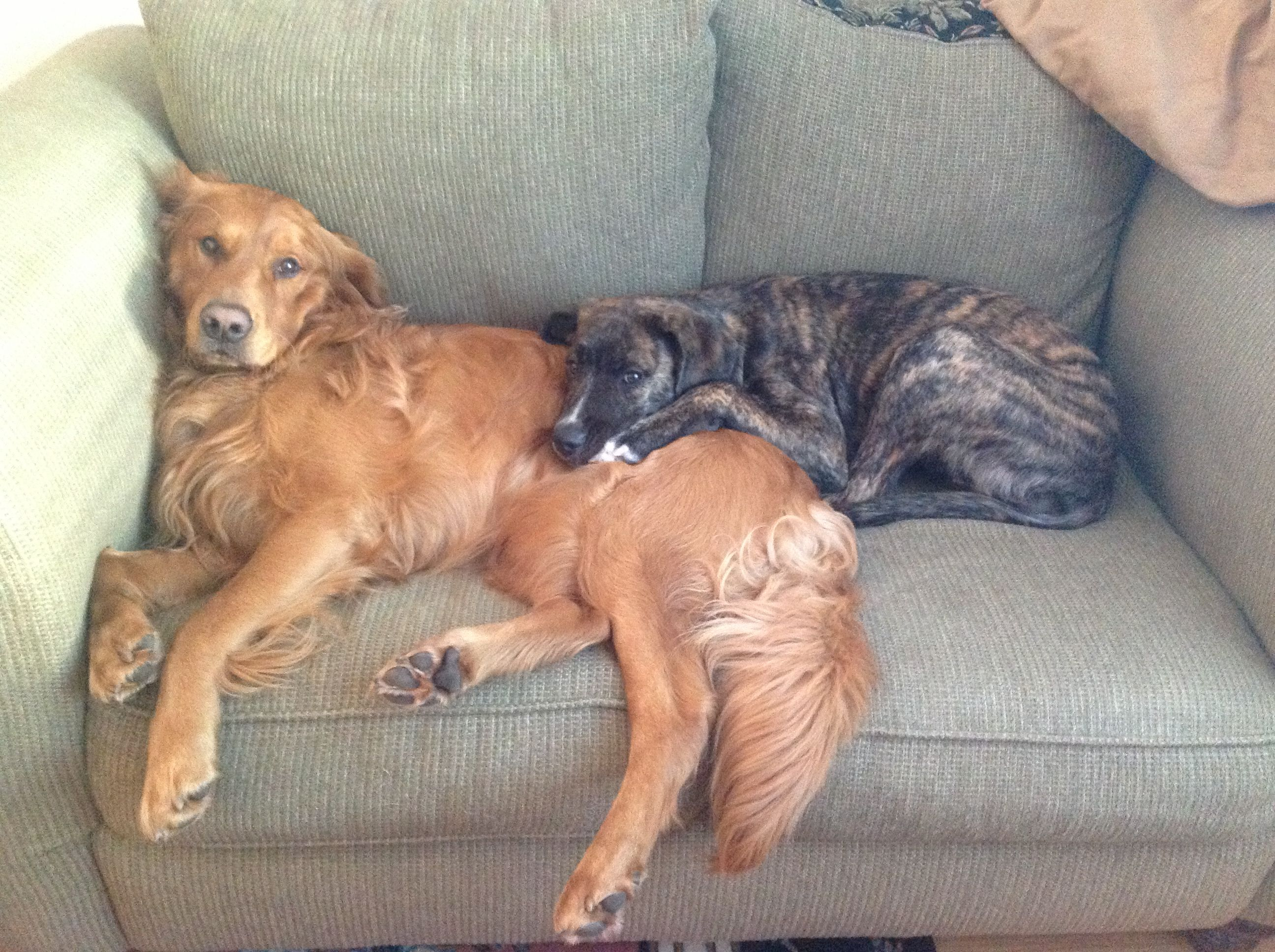 Goldens & danmasiff Dogs, Animals