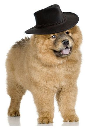 Cowboy Chow With Images Chow Chow Puppy Dog Breeds Puppies