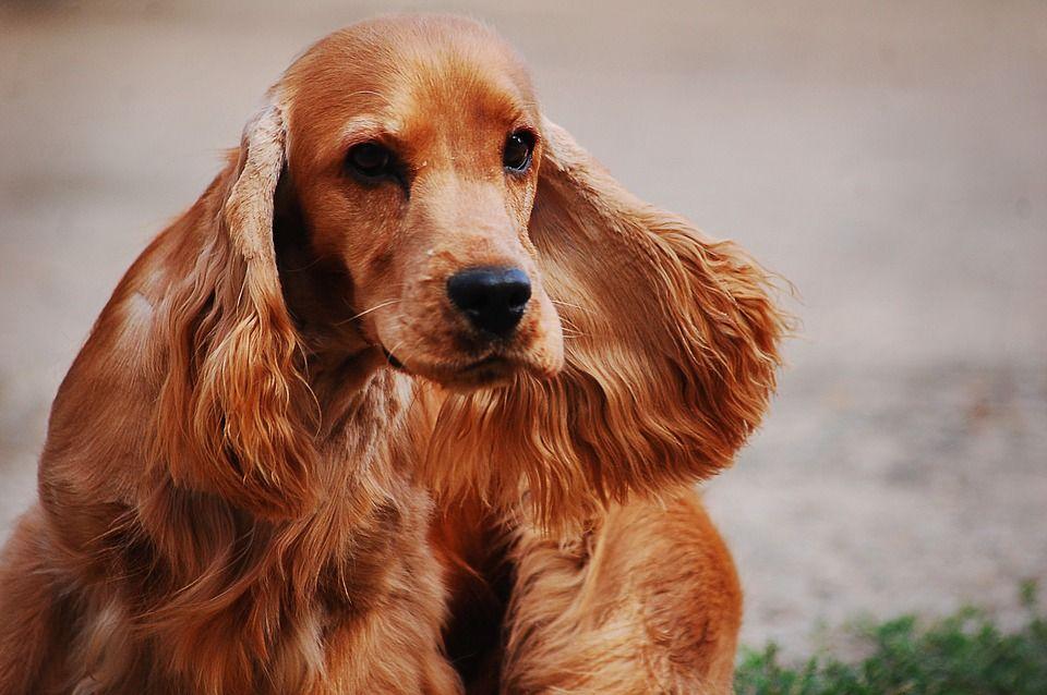 7 Races De Chiens Qui Demandent Beaucoup D Attention Training Your Dog Dog Training Pet Dogs